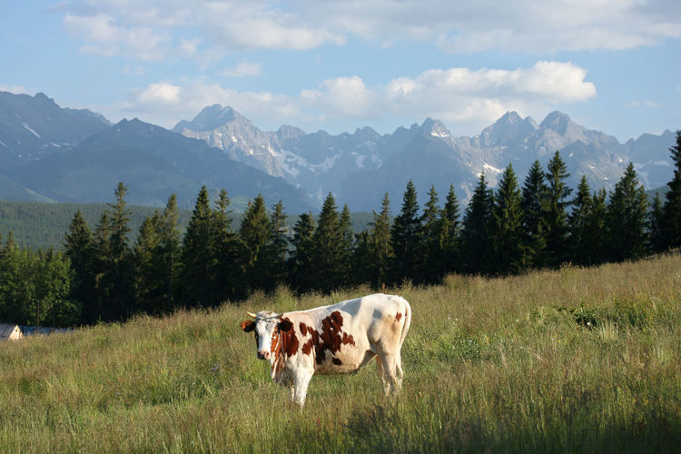 View Of Cow On Landscape Against Cloudy Sky