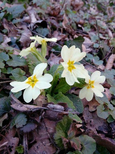 Fleur Flower Fleur ♡ Printemps Nature Beauty Nature Beauty In Nature Jaune🌻 Jaune Yellow Flower Foret Yellow Primevère