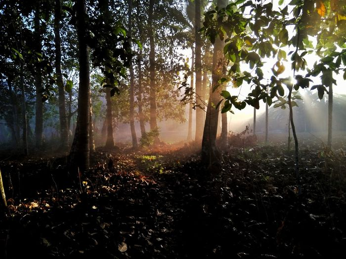Morning Sun Tree Fog Nature No People Branch Forest Scenics Outdoors Freshness