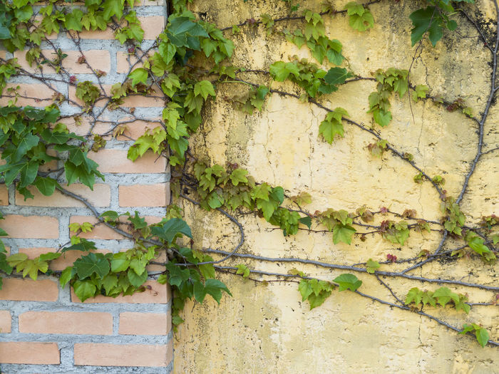 vine creeper on red brick and yellow wall - italian style background texture Creeper Wall Backgrounds Brackground Building Exterior Cracked Creeper Creeper Plant Damaged Day Green Color Italian Ivy Leaf Nature No People Old Outdoors Paint Plant Textured  Villa Vine - Plant Wall - Building Feature Weathered