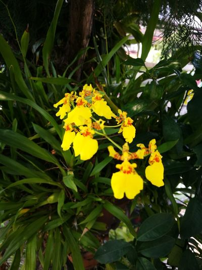 Orchid Dancing Lady Around Home Flower Head Flower Leaf Yellow Full Length Close-up Animal Themes Plant