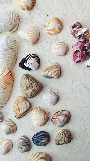 St. Augustine shells Seashell Florida Nature