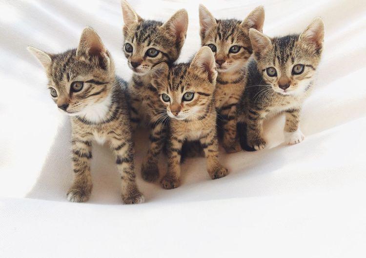 Cat Looking At Camera Domestic Cat Mammal Animal Themes Pets No People Domestic Animals Cats Of EyeEm