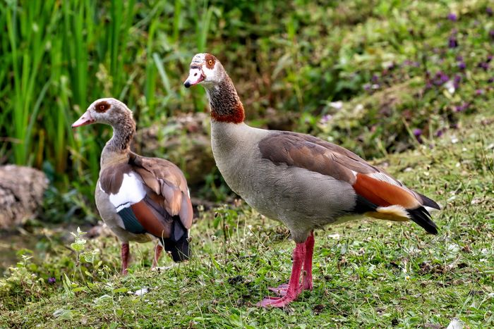 Egyptian Geese Animal Animal Family Animal Themes Animal Wildlife Animals In The Wild Bird Day Duck Field Focus On Foreground Goose Gosling Grass Group Of Animals Land Nature No People Plant Poultry Two Animals Vertebrate Water Bird