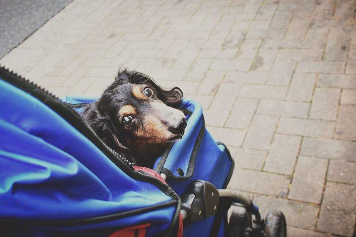 Ilovemydog Dog Dachshund Doglover Dog Love Dogslife Pet Cart DogLove Dogs Of EyeEm Dog❤ Dogstagram Dogs Dog Lover Dogoftheday お散歩Photo Nikon D7200 歩かないお散歩はお散歩と言えるのか?😳