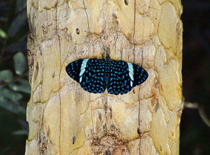 Hamafryas amphinome. Cracker Butterfly Macro Insects Nature_collection Butterfly Insect Photography Insects  Blue Butterfly Blue Wood