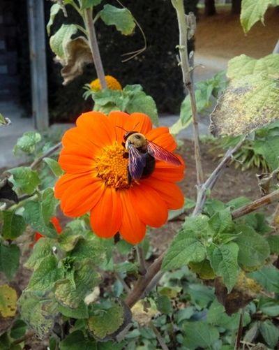 Bee Busy Flower Orange Macro Nature Pollenation