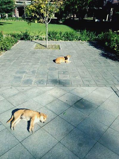 Dogs Lazy