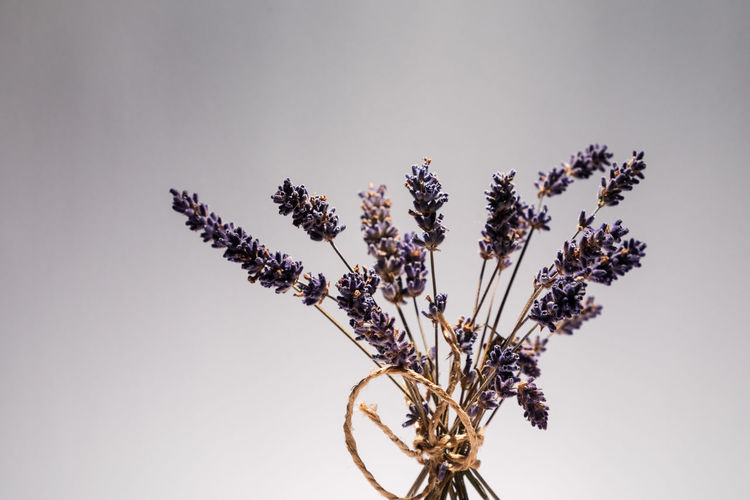 dried lavender Beauty In Nature Close-up Copy Space Day Dried Flower Flower Arrangement Flower Head Flowering Plant Fragility Freshness Growth Indoors  Lavender Nature No People Plant Plant Stem Purple Still Life Studio Shot Vulnerability  White Background