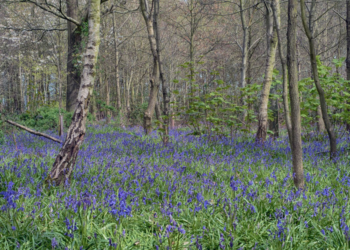 Bluebells out in my local wood Beauty In Nature Bluebells Landscape No People Non-urban Scene Tranquil Scene Woodland Photography Woodland Walk