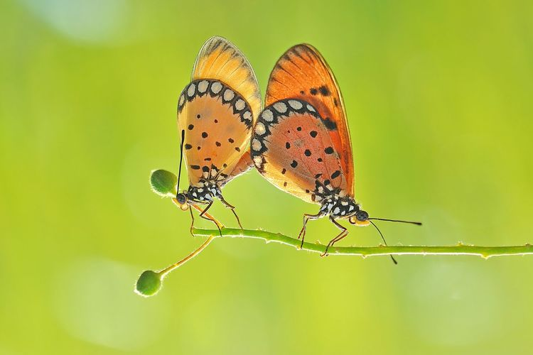 Butterflies mating on plant
