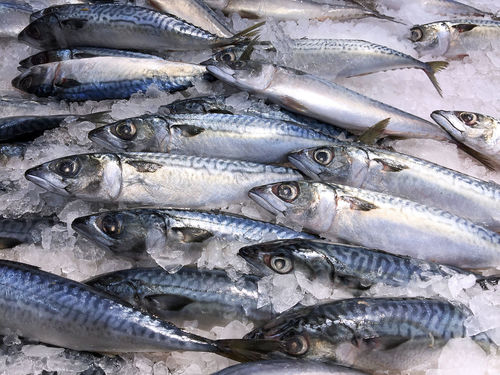 Frozen Saba Mackerel in a Pile of Ice Close-up Day Fish Food Food And Drink For Sale Freshness Healthy Eating Indoors  Mackerel Mackerel Fish Market No People Raw Food Retail  Saba Seafood