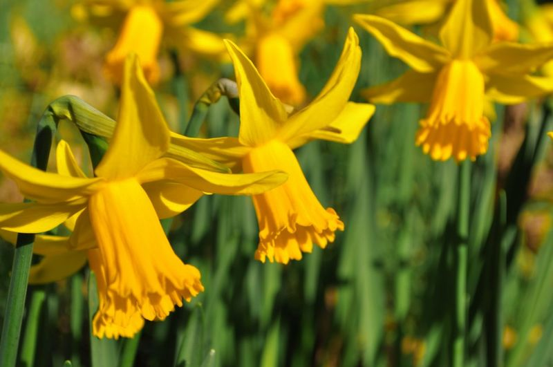 Yellow Flower Flowering Plant Plant Vulnerability  Fragility Freshness Beauty In Nature Petal Close-up Growth Flower Head Inflorescence Nature No People Focus On Foreground Day Daffodil Selective Focus Springtime Outdoors Pollen Spring My Best Photo