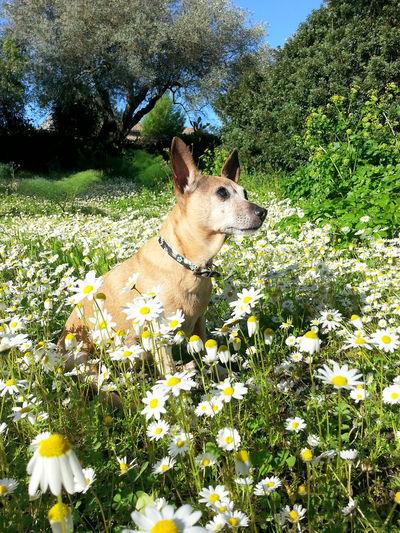 Flea❤ Love ♥ Lovely Lovelovelove∞ Dog Dog❤ Flowers Margherite Amoremio Pincher Nature