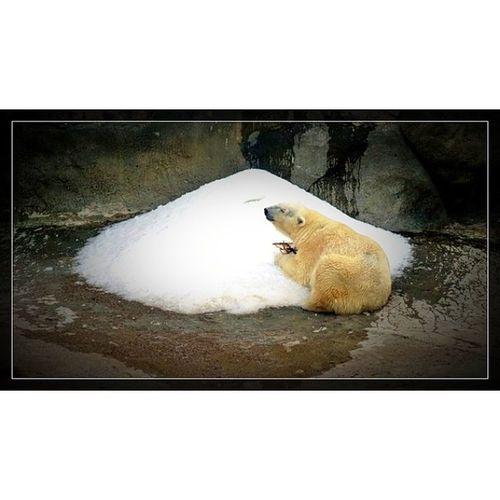 @fotor_apps Fotor Москва зоопарк московскийзоопарк медведь белыймедведь снег весна вечерсвершининым moscow bear zoo spring park instazoo instamoscow 🐻