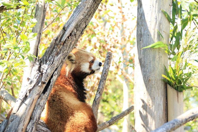 Red Panda Zoo