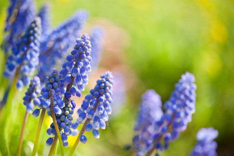 Blue Muscari Mill flowers close-up in the spring, bluebell blooming in garden in Poland. Abloom Bloom Blooming Blue Bluebell Bluebells Clump Flower Flowerets Flowering Flowers Grape Hyacinth Grape Hyacinths Muscari Muscari Mill Nature No People Plant Plant Plants Spring