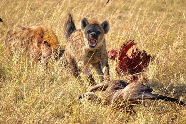Hyena hunt Animal Themes Animal Animals In The Wild Mammal Animal Wildlife One Animal Vertebrate No People Portrait Mouth Open Aggression  Sunlight Looking At Camera Nature Grass Carnivora Plant Mouth Day