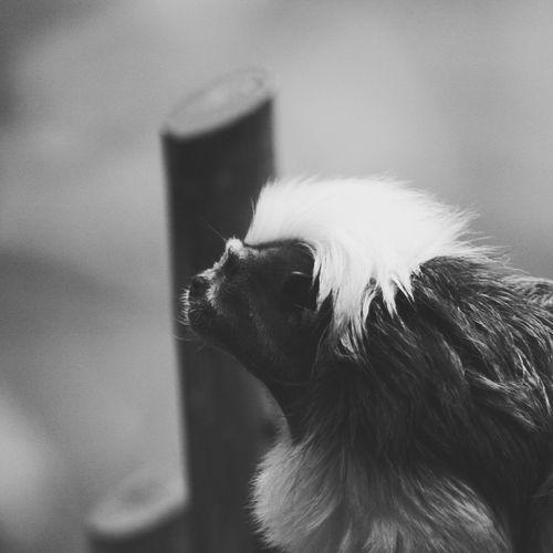 Close-Up Of Cotton-Top Tamarin At Zoo