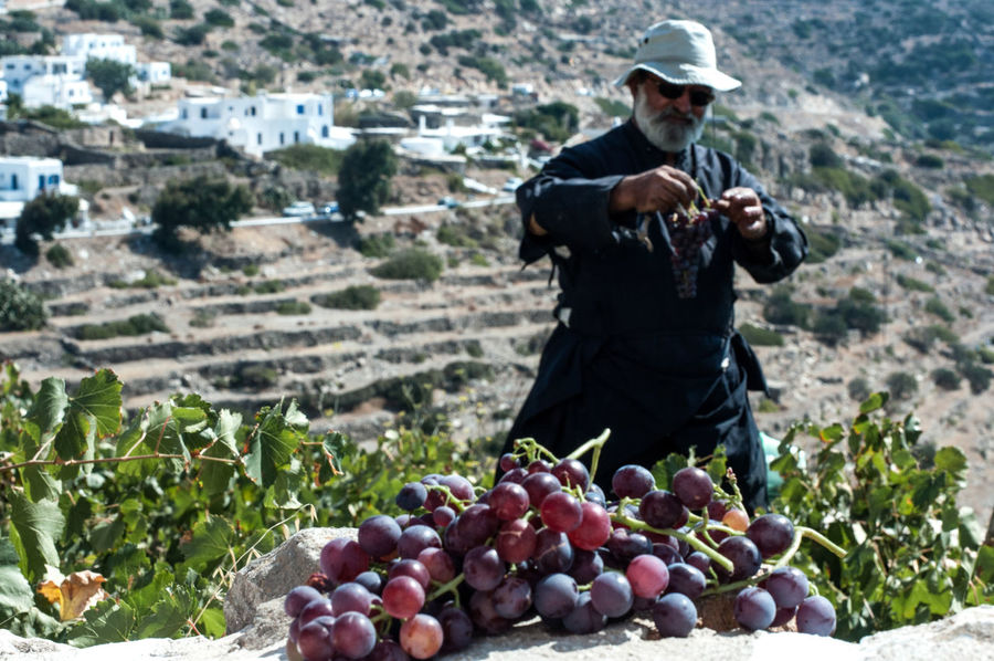 Greek Islands Greek Summer Summer Views Summertime Cultivated Land Focus On Foreground Fruit Collection Grapes Leisure Activity Lifestyles Summer Vibes Vineyard