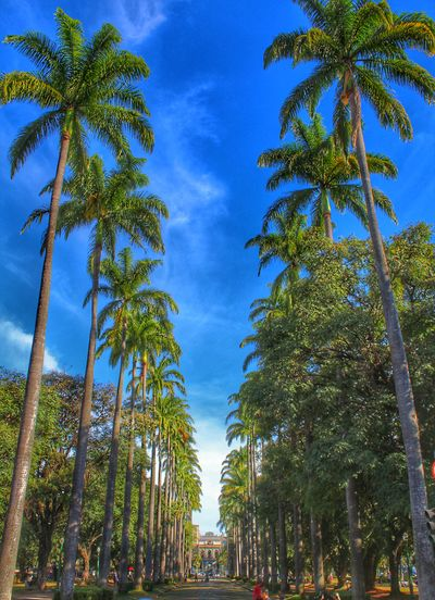 Tree Nature Sky Low Angle View Palm Tree Blue Outdoors No People Growth Beauty In Nature Day Tree Area Coqueiros