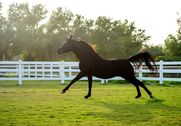 black beautiful Arabian horse Arabian Beautiful Farm Force Freedom Horses Moving Nature Power Running Stallion Animal Arab Arabian Horse Beauty Fast Grass Gulf Horse Motion Nature Power In Nature Speed Strong Wildlife