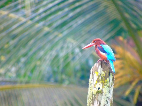 Nature Kingfisher Blue