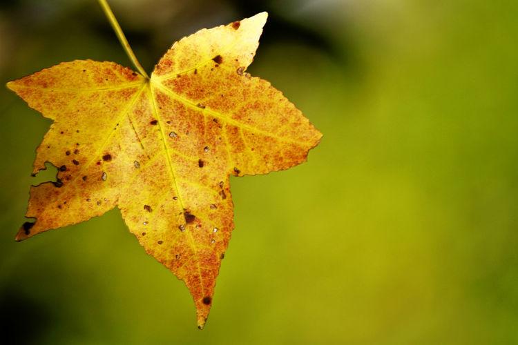 Yellow maple leaf in the Fall sun. Autumn Autumn Colors Autumn Leaves Fall Beauty Fall Colors Fall Leaves Tree Yellow Maple Yellow Maple Leaf