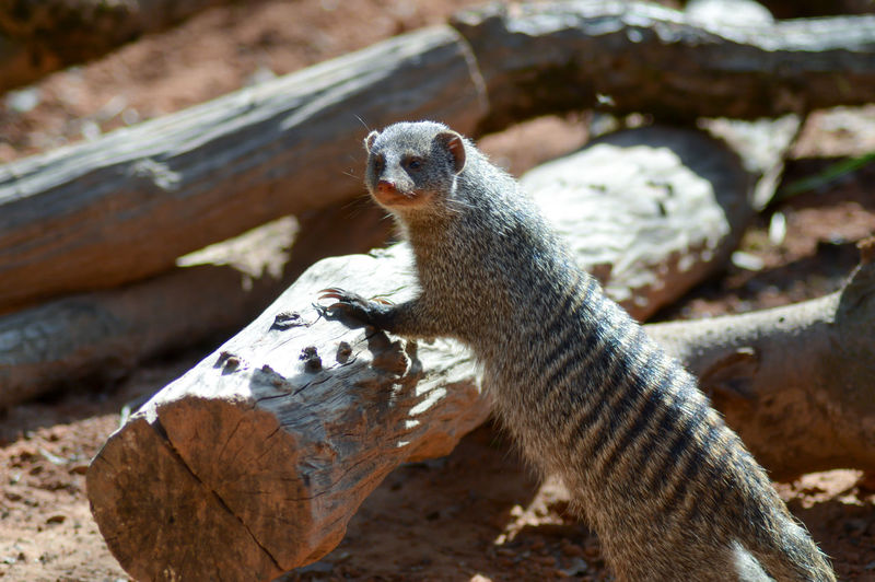 High Angle View Of Banded Mongoose On Leaning Log At Field