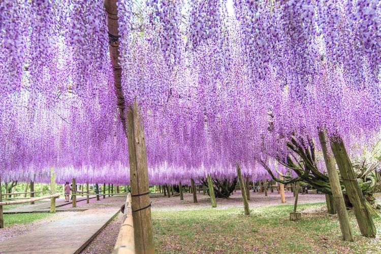 Purple flower tree in park
