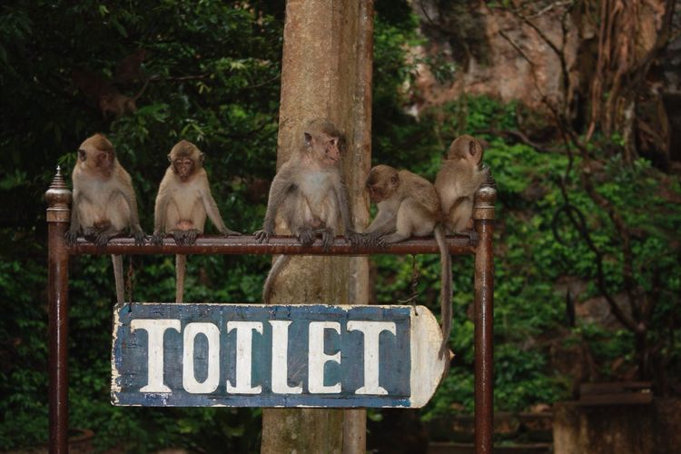 Monkeys Relaxing On Metal Above Toilet Sign