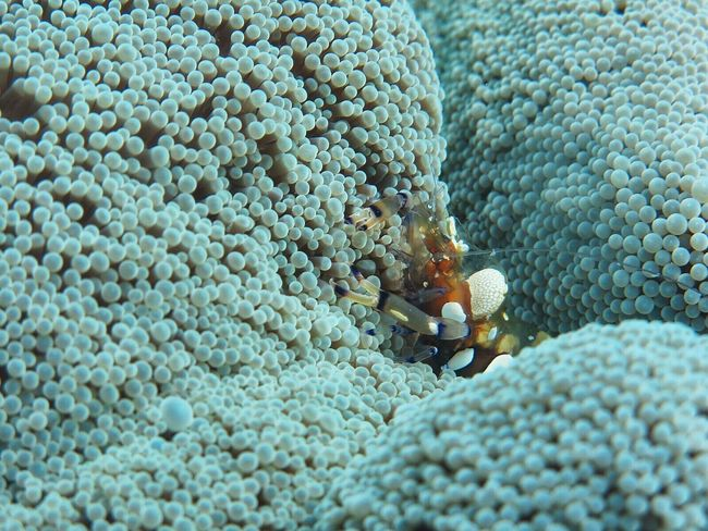 Underwater UnderSea Sea Life Coral Sea Anenome Animal Themes Animals In The Wild Animal Wildlife One Animal Sea Anemone No People (null)Nature Beauty Outdoors Close-up Day Ocean Shrimps Anenomeshrimp Fragility Canonphotography Underwater Photography in Cambodia The Week On EyeEm