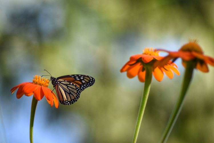 Orange flower for sn orange Monarch Insect Beauty In Nature Animal Wildlife Butterfly - Insect Pollination Flower Monarch Orange Garden Staten Island New York Nikonphotography D5500 Wildlife Photography Fitz's Photos Summertime Close-up Lens Blur Animals In The Wild Nature Plant One Animal Animal Themes Focus On Foreground Fragility