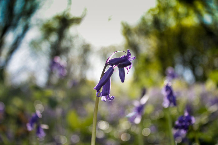 BlueBells of Spring Beauty In Nature Blooming Bluebells Close-up Creative Light And Shadow Day Flower Flower Head Focus On Foreground Fragility Freshness Growth Insect Nature No People One Animal Outdoors Petal Plant Purple Springtime Tree