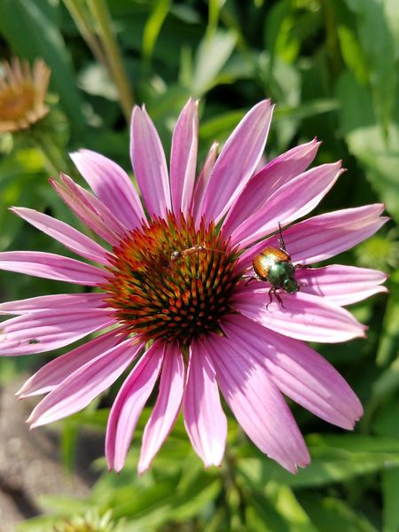 Flower Insect Plant Nature Petal Outdoors Animals In The Wild Focus On Foreground Fragility One Animal Freshness No People Purple Pink Color Day Animal Wildlife Close-up Beauty In Nature June Beetle June Bug Growth Ant 100 Days Of Summer Perspectives On Nature