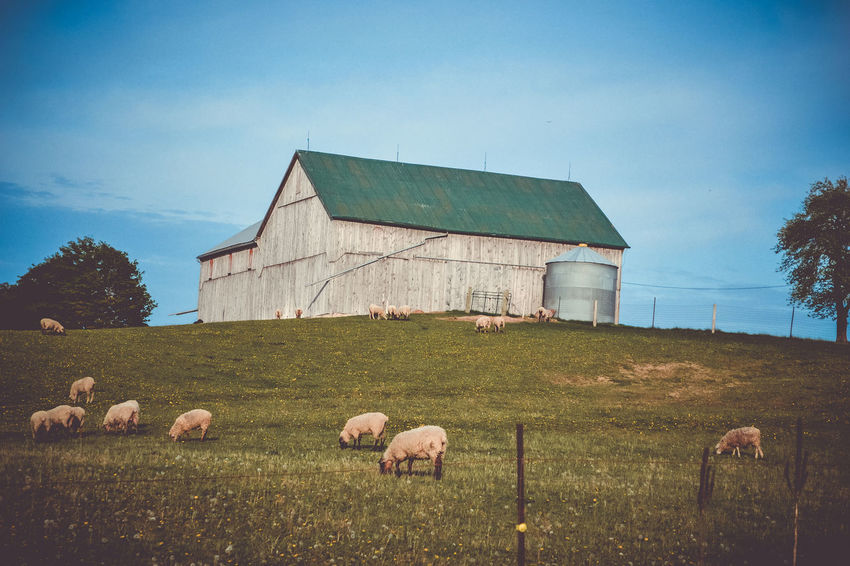 Sheep Farm Agriculture Animal Themes Architecture Barn Beauty In Nature Built Structure Clear Sky Day Domestic Animals Grass Hay Bale Landscape Mammal Nature No People Outdoors Sky Tranquility