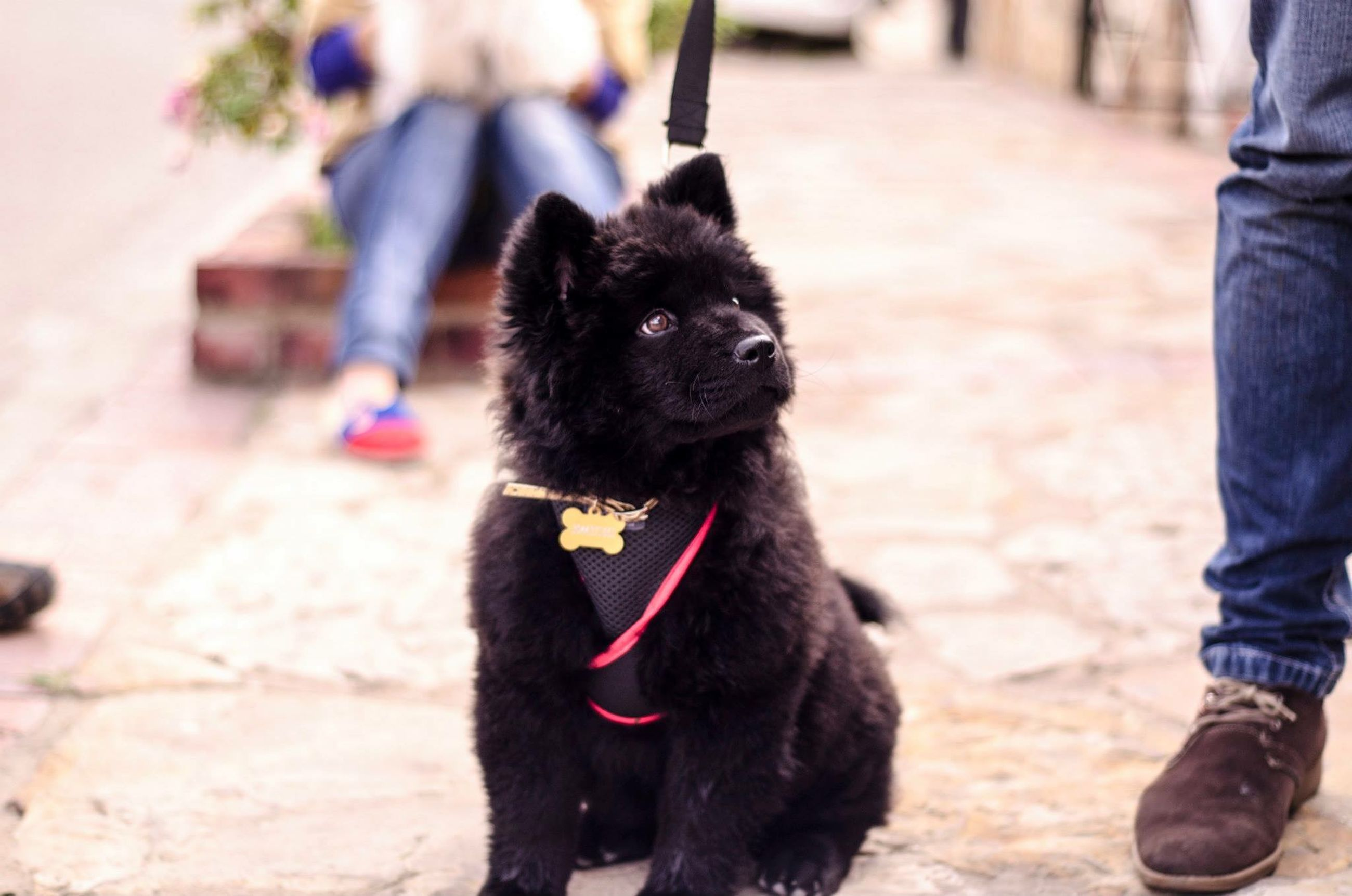 domestic animals, animal themes, one animal, pets, mammal, dog, focus on foreground, black color, standing, street, walking, incidental people, sitting, looking away, pet collar, domestic cat, outdoors, pet owner