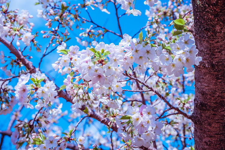 Plant Flowering Plant Flower Fragility Beauty In Nature Tree Freshness Growth Branch Vulnerability  Blossom Springtime Low Angle View Nature Day Close-up No People Blue Petal Twig Cherry Blossom Outdoors Flower Head Cherry Tree Spring