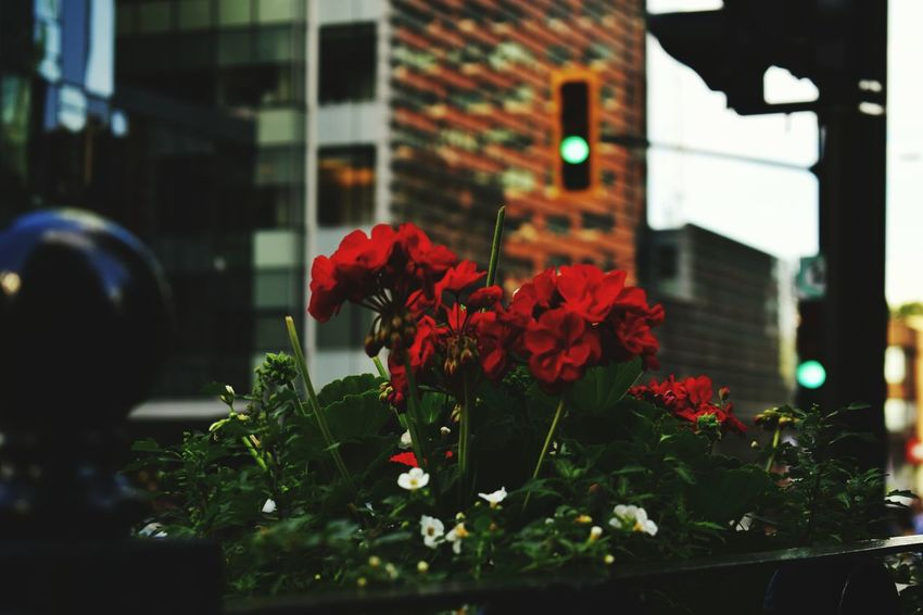 Flower Nature Red Growth Outdoors Building Exterior Close-up Built Structure Springtime City Poppy Day Neon Life Mix Yourself A Good Time