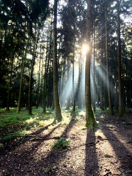 Mornings in the Forrest Mornings Sunrise Poing Tree Plant Sunlight Forest Land Sunbeam Nature WoodLand Beauty In Nature Scenics - Nature