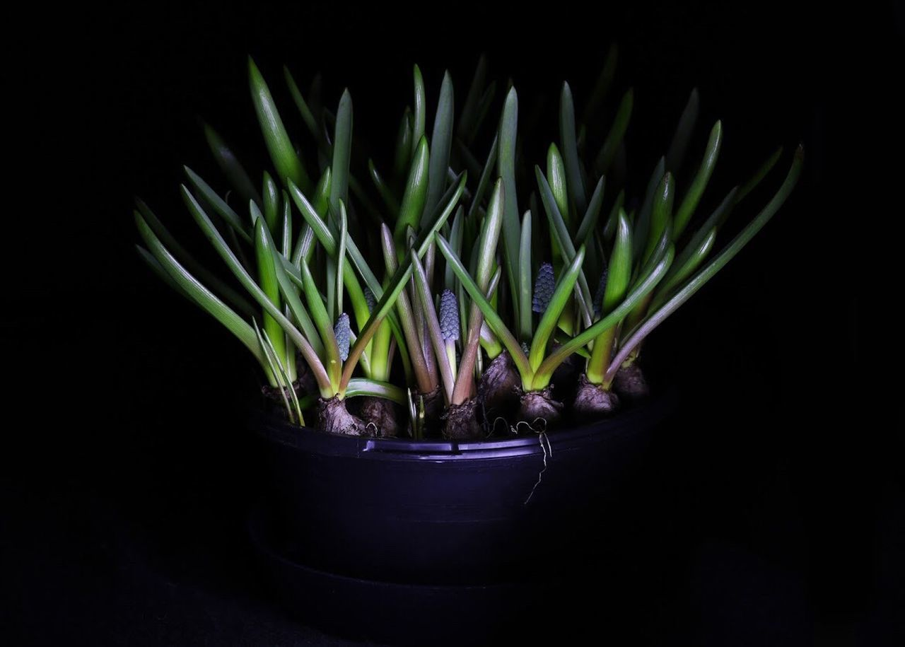 growth, potted plant, plant, nature, green color, no people, black background, beauty in nature, close-up, fragility, freshness, indoors, day