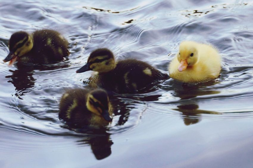 Swimming Water Animal Themes Animals In The Wild Waterfront Duck No People Young Bird Duckling Lake Bird Day Nature Outdoors Close-up EyeEm Diversity