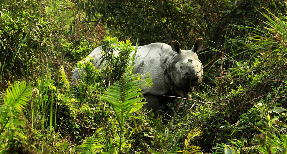 rhino inside bush.. Bush Cute Animals Eye Em Best Shots Eye Em Nature Lover Eye4photography  EyeEm EyeEm Best Shots EyeEm Gallery EyeEm Nature Lover EyeEmBestPics Kaziranga Kaziranga National Park Mammal Nature One Horned Rhinoceros Powerful Pride Of Assam Rhino Rhino In Jung Wildlife Wildlife & Nature Wildlife Photography