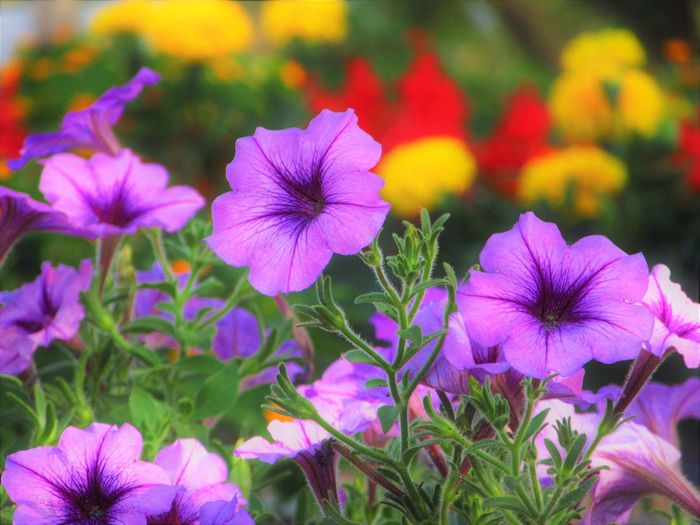 No People Outdoors Flower Flowering Plant Flower Head Close-up Growth Petal Plant Nature Purple