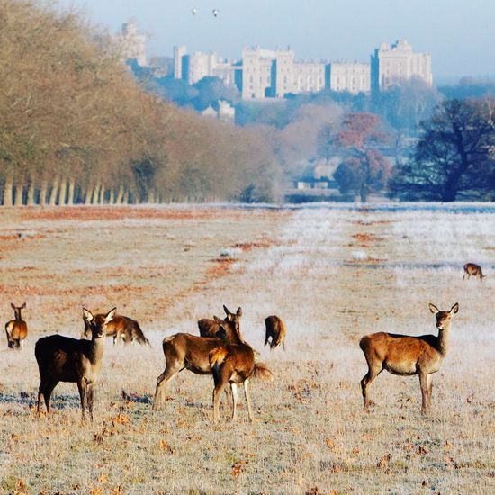 Deer on a frosty day in Windsor Great Park. Animals In The Wild Large Group Of Animals Nature Animal Themes Landscape Outdoors Scenics Beauty In Nature No People