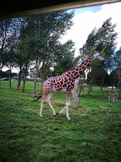 Picture through a car window Giraffe Animal Themes Outdoors Nature Uk United Kingdom Grass No People