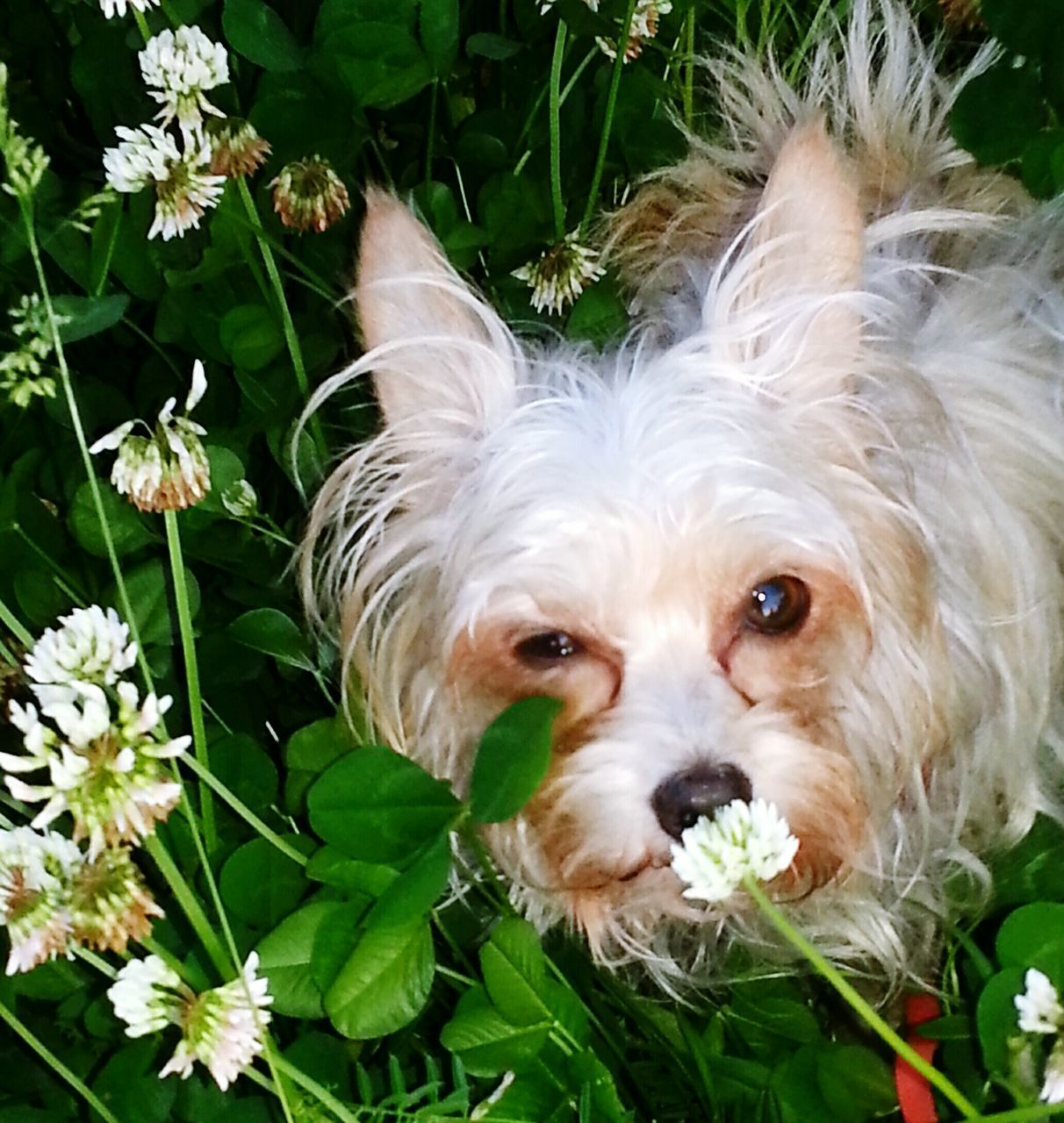 dog, canine, one animal, mammal, pets, domestic, domestic animals, animal themes, animal, looking at camera, portrait, vertebrate, plant, close-up, flower, no people, flowering plant, day, animal body part, lap dog, animal head, small