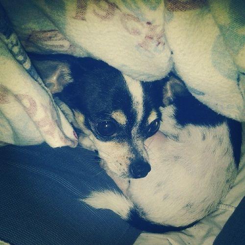 Not happy at ALL after a bath. Chihuahua Fourleggedchild Teacupchihuahua Shebagram tinydog petstagram dogstagram dogsofinstagram dog