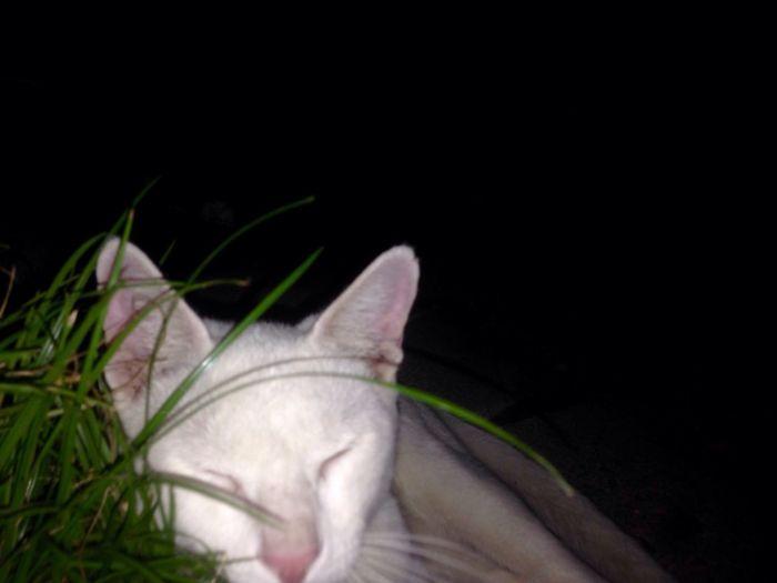 - Olaf Catsleeping Gatobranco PetsdoAri MyShoots Domestic Animals Domestic Pets One Animal Mammal Animal Themes Domestic Animals Domestic Pets