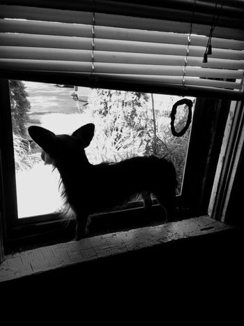 Puppy Dog Hello World Window Chichuahua Hanging Out Check This Out That's Me Enjoying Life Blackandwhite Minneapolis Hi! I Love My Dog Dogs Puppy Love My Little Puppy Smalldog Chihuahualovers